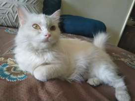 Female Persian good for breeding 3 yrs old