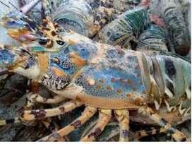 Lobster Fresh ukuran 100-200