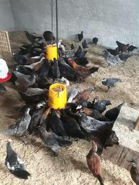 Ayam kampung KUB