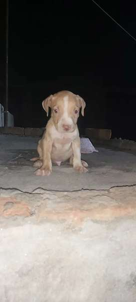Game bred American pit bull terrier male puppy for sale