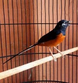 Burung Murai Batu Medan Blorok Ring Koleksi Pribadi Bisa Kirim RI