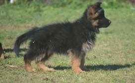 German shepherd female puppy 2 n half mont