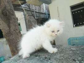 Cat Persian Blue eyes kitten 2.5 month female