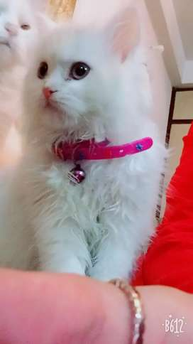 Persian Cat Female