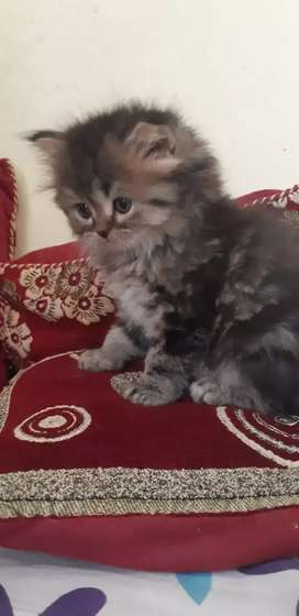 Urgent  sell my persein kittens