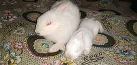 Red Eyes Adult Rabbits For Sale in Gujrat Pakistan