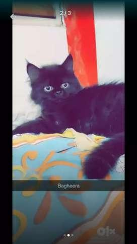 Persian kittens black colour