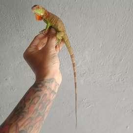 Red iguana -+45cm