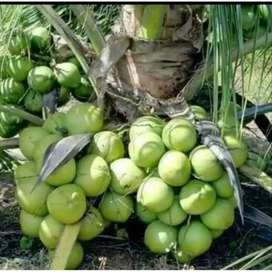 Bibit kelapa Ijo Asli
