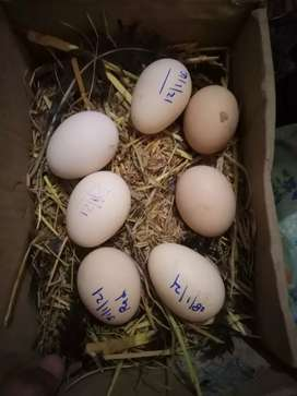 Aseel eggs available