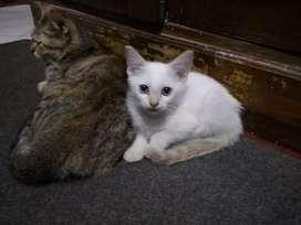 Kucing Siam/Kitten