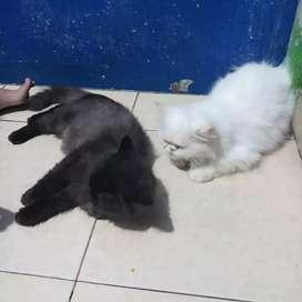 Peaknose putih solid betina 10 bulan