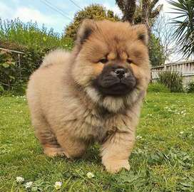 Chow chow puppy sale