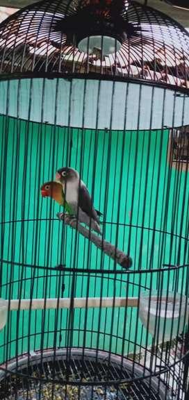 Lovebird pasangan
