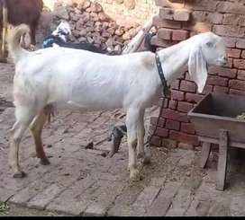 Pure rajan puri bakri for sale