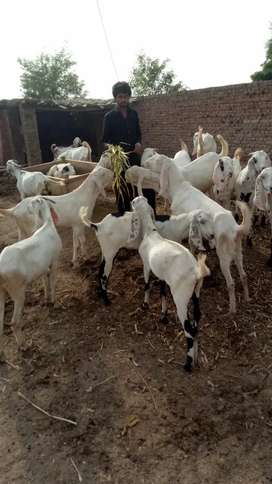 Goats Are Available For Qurbani In Al Haram Livestock Last year Rate