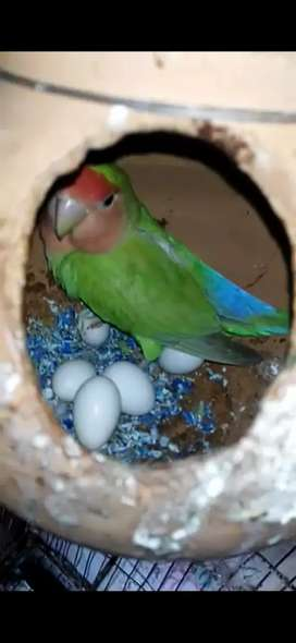 Breeder lovebird with eggs
