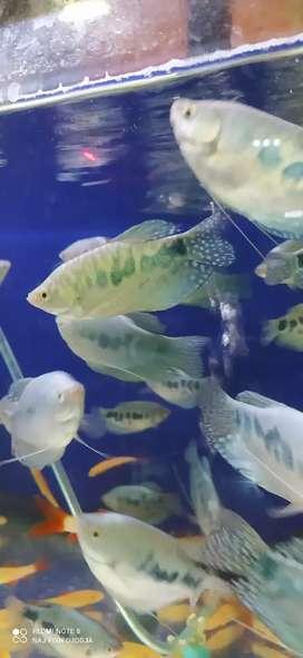 Ikan sepat blue rosby size indukan gan cakeppp