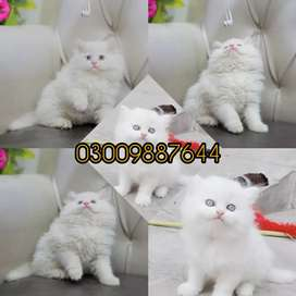 Persian bread kittens are available punch face