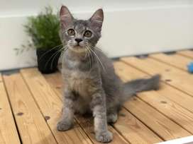 Kucing Persia Longhair Kitten