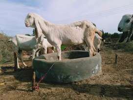 A pure white Pregnant Rajnpuri goat with exceptional height