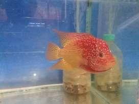 Ikan louhan golden base cencu