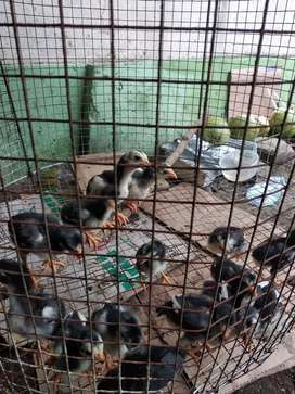 Anak ayam siam thailand