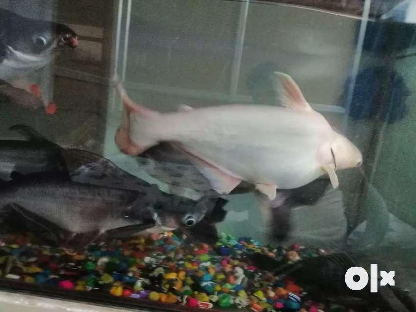 Black Sharks for sale 0