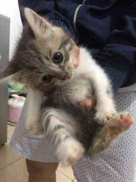 Jual Kucing Jenis Persia usia 1 bulanan imut, Sehat dan Lucu