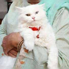 Doll-Faced White Persian Female Cat