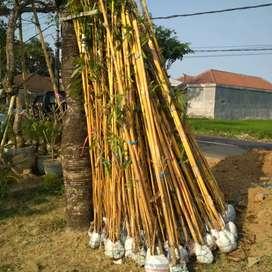 Bambu kuning super dan jaminan hidup