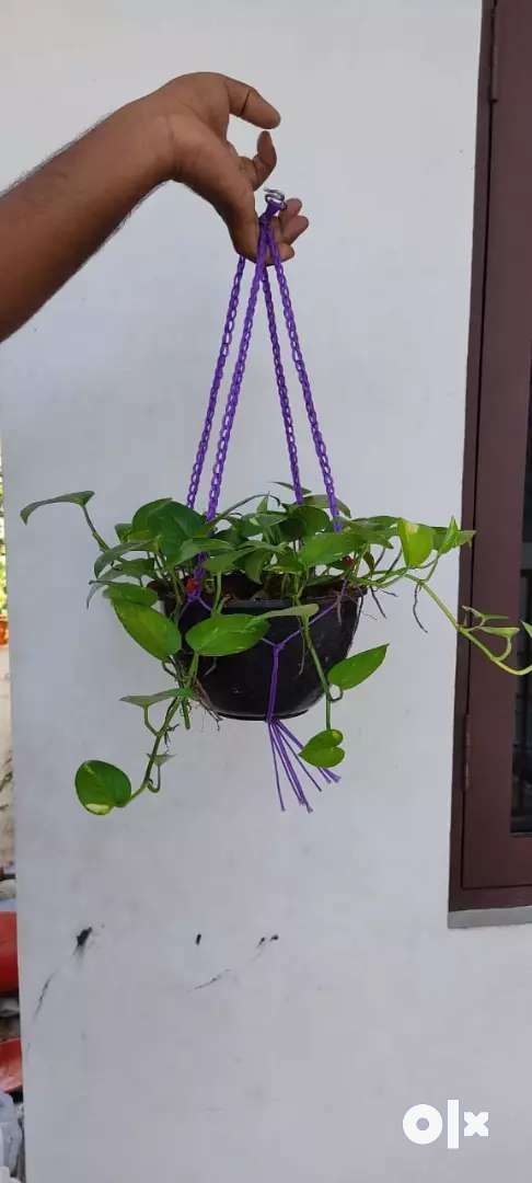 Indoor Plants Hanging plants 0
