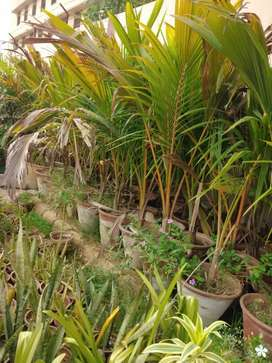 Coconut tree for sale