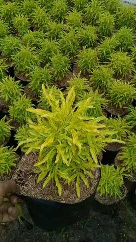 Sedia tanaman brokoli kuning tukang tanaman hias, melayani partai.