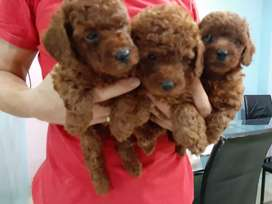 Anjing Super Red Toy Poodle puppies stb vaksin jantan dan betina