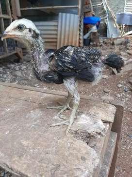 """Ayam mangon asli 5""""adhie berniaga cell&farm"""""""