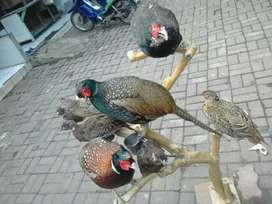 Red & Green Ringneck Pheasant / Ayam Hutan Tibet