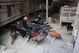 Anakan Ayam Bangkok, Birma, Magon dan Saigo
