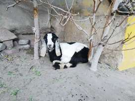Two goats for sale with their two young ones two male ad two female