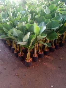 Stok ready dan siap kirim-jual tanaman hias kalatea