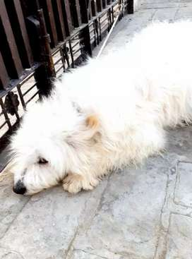 White colour Russian dog age 8 month