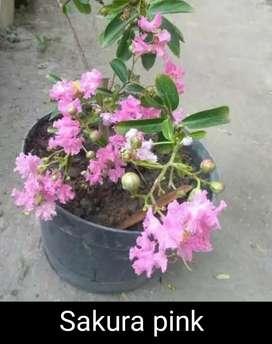 Sakura Jepang pink