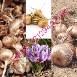100% Imported Saffron Seeds Available