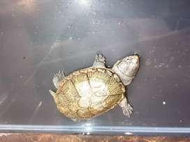 Kura kura claudius (jarang ada)