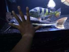 Ikan RTC / ikan lele