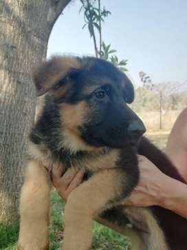 Beautiful German Shephard male and female for sale