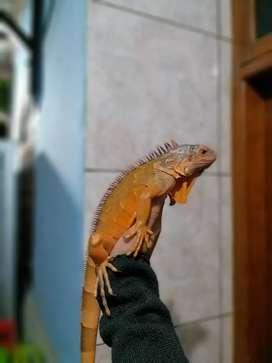 Red Iguana 83 cm