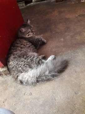 Persian cat...