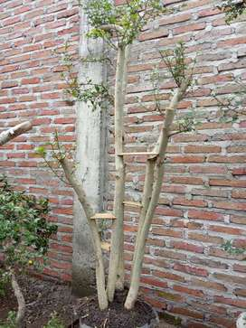 Bonsai Pohon serut