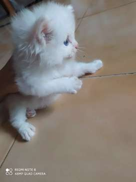 Persiqn kittens for sale